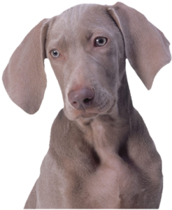 GraphicsByLiz_WeimaranerPuppy_June2006