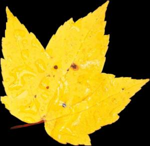 GraphicsByLiz_yellowmapleleaf_Nov2006