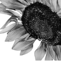 GraphicsByLiz_Rabinowitz_Sunflower_May2008