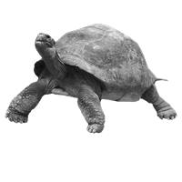 GraphicsByLiz_big_turtle_May2008