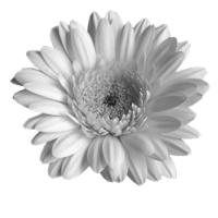 GraphicsByLiz_daisy03