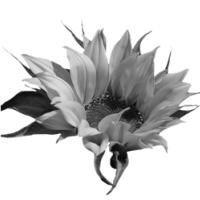 GraphicsByLiz_sunflower001_May2008