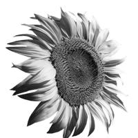 GraphicsByLiz_tournesol_sunflower0002_June2008